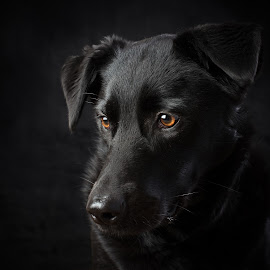 Family Dog Portrait by Michelle McClafferty - Animals - Dogs Portraits ( studio, pet, michelle mcclafferty, raleigh newborn photography, dog, labrador, mutt, portrait, black, animal,  )
