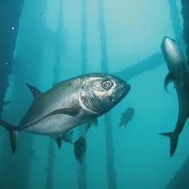 Curious Jacks by Phil Bear - Animals Fish ( underwater, fish, texas, oil rig, jacks )