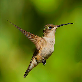 Little Bit by Roy Walter - Animals Birds ( animals, nature, hummingbird, wildlife, birds )