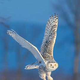 Snowy Owl (Bubo scandiacus) by Tim Harding - Animals Birds ( field, minesing wetlands, winter, canada, barn_owls_typical_owls, simcoe county, wildlife, ontario, snowy owl, birds, in flight, bird, fly, flight )