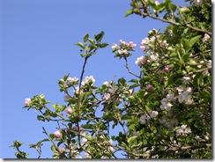 CA blossums