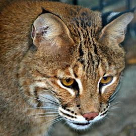 Bobcat Up Close by Cathy Hoyt - Animals Lions, Tigers & Big Cats ( bobcats, cat, bobcat, nature, sanctuary, wildlife, large cats )