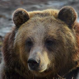 Da Bear by Dustin White - Animals Other Mammals ( bear, brown, close up, large, mammal )