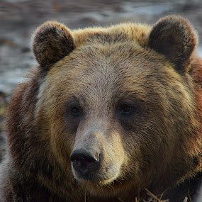 Da Bear by Dustin White - Animals Other Mammals ( bear, brown, close up, large, mammal,  )