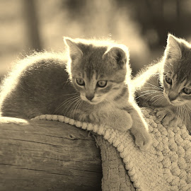 Kittens in the Sunshine by Barbara Olstad - Animals - Cats Kittens