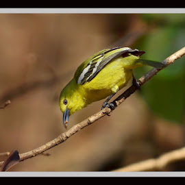 A by Yogesh Waikul - Animals Birds ( bird, green, india, yellow, birds )