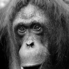 Orangutan by Siew Feun Kylemark - Animals Other Mammals ( mammals, zoo, ape, black and white, orangutan, portrait, animal )