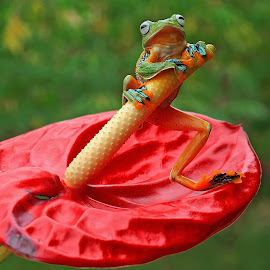 thanks Om Hanny Setiawan atas pinjaman kodok nya .... :) by Benny Sugiarto Eko Wardojo - Animals Amphibians