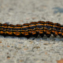 Orange Striped Oakworm