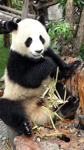 パンダ。動物パズル