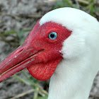 White Ibis (with wattle)