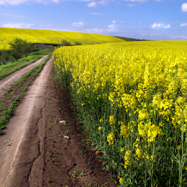 Yellow field by Daliana Pacuraru - Landscapes Prairies, Meadows & Fields ( daliana pacuraru, canopy, road, yellow, photographis )