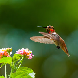 Napkin Please by Kevin Mummau - Novices Only Wildlife ( bird, flight, pollen, hummingbird, pollenation, still, flower )
