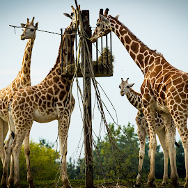 Giraffe by Voicu Lupan - Animals Other Mammals ( giraffe, safari, africa )