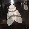 Lymantridae