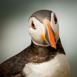 Puffin Portrait by Greg Sinclair - Animals Birds ( bird, wild, animals, nature, wildlife, birds, puffin, animal )