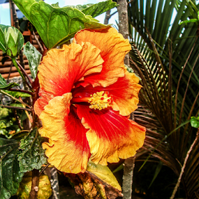 Hibisco by Francisco Andrade - Flowers Flower Gardens