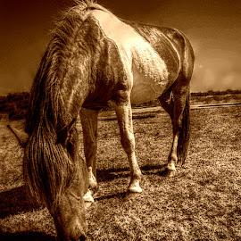 wild pony by Nick Stevenson - Animals Horses (  )