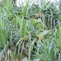 Screw-pine or hala