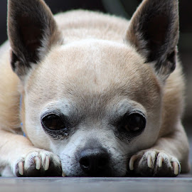 Jack by Sam Atmore - Animals - Dogs Portraits ( home, cute, sleep, eyes, macro, pet, bark, fur, puppy, paws, chihuahua, dog, closeup )