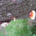 shelf mushroom