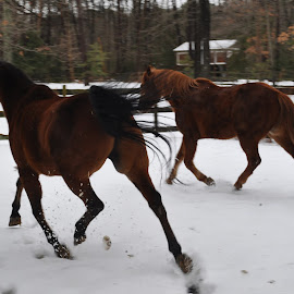 Ice dancing, pairs by Terry Niec - Animals Horses ( horses, snow )
