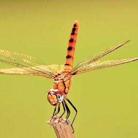 by Rajeev Pal - Animals Insects & Spiders (  )