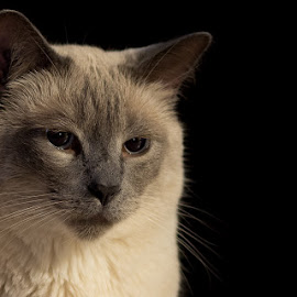 Ringo by Charles Birch - Animals - Cats Portraits ( low key, siamese cat, siamese, portrait )