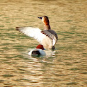 Common Pochard males and females