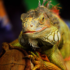 iguana by Billy Danan - Animals Reptiles