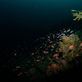 Colours in the deep. by Alexandre Ribeiro Dos Santos - Landscapes Underwater ( black coral, pico island, atlantic ocean, açores, underwater photography, portugal, anthias anthias, deep dive, azores )