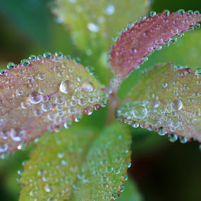 Morning Dew by Nico Carbajales - Nature Up Close Leaves & Grasses