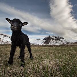 iceland by Bernharður Guðmundsson - Animals Other Mammals