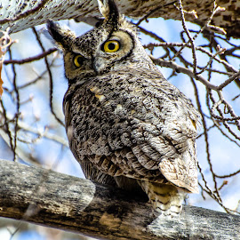 Great Horned Owl by Cameron Knudsen - Animals Birds (  )