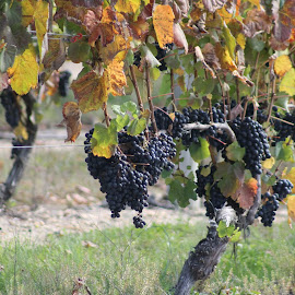 Grapes  by Anna Tripodi - Food & Drink Fruits & Vegetables ( purple, grapes, vines, green, yum,  )