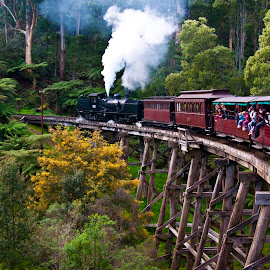 Puffing Billy takes the trestle bridge by Angus Ibbott - Transportation Trains ( steam train, puffing billy, train, bridge, trestle bridge,  )