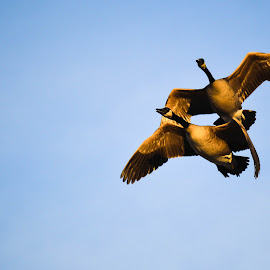 Wild geese by Susan Palmer - Novices Only Wildlife ( nature, wildlife, geese, golden hour, animal )