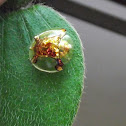 Golden Toutoise beetle.
