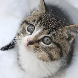 Snow Kitten by Naia Eggert - Animals - Cats Kittens ( kitten, snow, adorable, cute, photography )