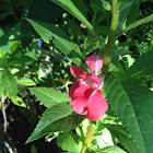 Camellia, balsam