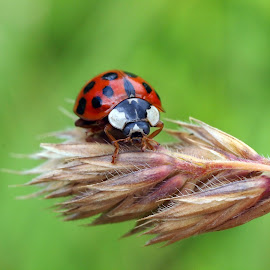 Ladybug by Edwin Butter - Animals Insects & Spiders ( spots, macro, red, ladybug, insect, close up, small,  )