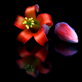 Flower Reflection by Phil Le Cren - Artistic Objects Still Life ( flower reflection, flower )