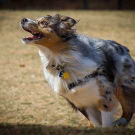 Aussie Fun by Ron Meyers - Animals - Dogs Playing