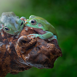 by Irwan Budiman - Animals Amphibians
