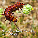 Pipevine Swallowtail Caterpillar