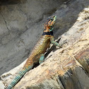 Minor Lizard