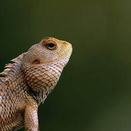 Common Garden Lizard by Sandip Rajguru - Animals Reptiles ( lizard, nature, common, garden, animal,  )