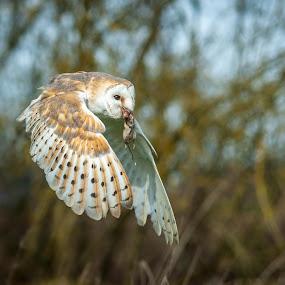 Evening Meal by Darren Whiteley - Animals Birds ( bird of prey, owl, wildlife, dusk, united kingdom,  )