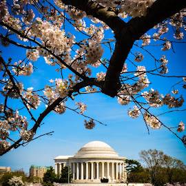 Jefferson cherry blossoms by Joe Adams - Buildings & Architecture Public & Historical ( reflection, jefferson memorial, washington dc, tidal basin, cherry blossoms )