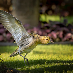 Walk THIS WAY! by M Knight - Animals Birds ( winter plumage, wing, walking, plumage, feathers, stretching, plover, bird, maui, hawaii, golden, animal, golden plover )